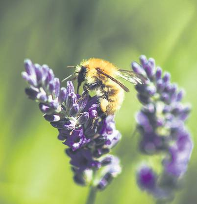 Bienen sind durch ihre Bestäubungsleistung eine wichtige Komponente in funktionierenden Permakultursystemen.