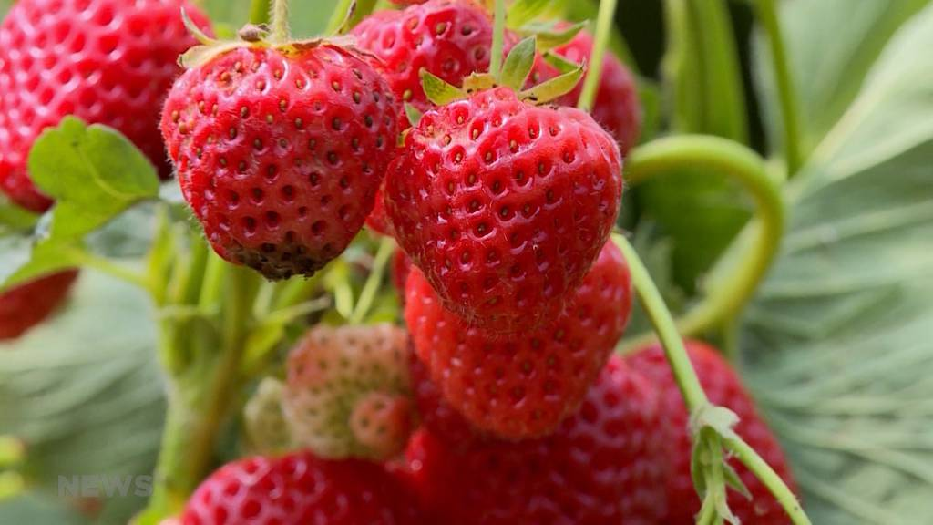 Schweizer Bauer bleibt auf Erdbeeren sitzen