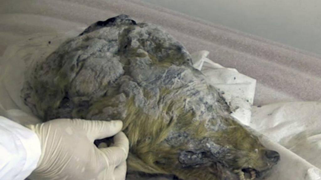 Der 32'000 Jahre alte Wolf hat sich im sibirischen Permafrost gut gehalten. Sehr zur Freude von Forschern. (Handout)