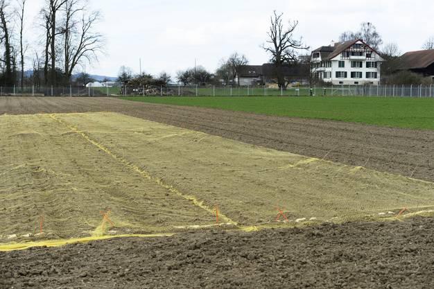 Noch ist auf dem mit Netzen überspannten Feld nicht viel zu sehen. Erst vor einer Woche wurde der gentechnisch veränderte Weizen ausgesät.