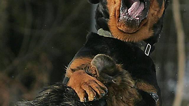Kein Verbot gefährlicher Hunde