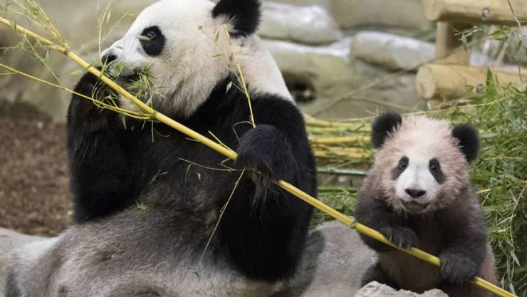 Frankreichs erstes Panda-Baby wurde im Zoo in Saint-Aignan-sur-Cher erstmals der Öffentlichkeit vorgestellt.