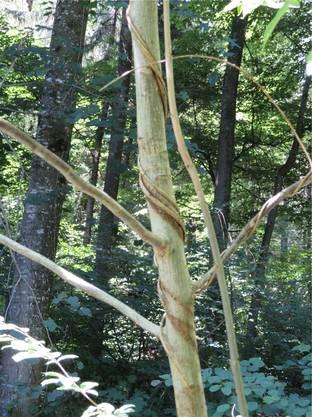 Henrys Geissblatt ist ursprünglich in China heimisch. Seine Samen werden oft von Vögeln weitergetragen. Die Pflanze kann sich aber auch mit kriechenden Trieben ausbreiten. Als Bekämpfung kommt nur das Ausreissen infrage. Pflanzen, die bereits an einem Baum hochwachsen, sollte man abschneiden und wenn nicht anders möglich am Baum vertrocknen lassen. Die Pflanzen dürfen nicht im Garten oder am Feldrand kompostiert werden. Im Leberberger Wald wurden Hunderte dieser Pflanzen ausgerissen und auf Haufen geschichtet. (rm)