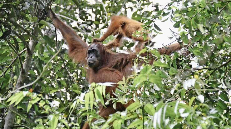 Das Suaq-Gebiet hat weltweit die höchste Dichte an Orang-Utans Pro Quadratkilometer leben dort sieben Tiere.