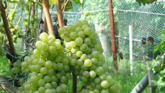 Die weissen Trauben wurden geerntet, die roten Pinot-noir-Trauben sind in etwa zwei Wochen erntereif.