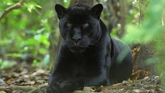 Panther sind die viertgrösste Grosskatze nach Tiger, Löwe und Jaguar
