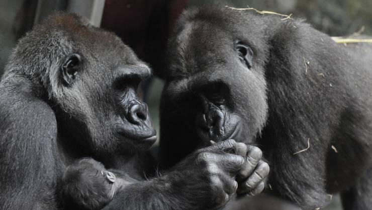 Die Gorilla-Familie im Zoo Zürich hat Nachwuchs erhalten.
