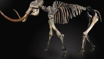 Aufnahme des versteigerten Mammutskeletts (Archiv)