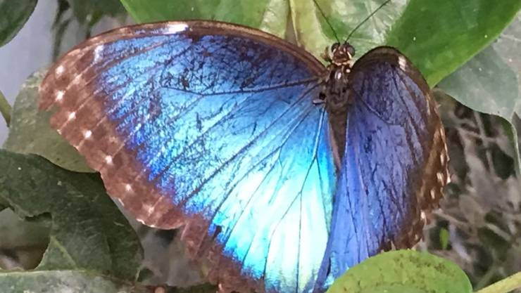 Der blaue Morpho, auch blauer Segler genannt, hatte es uns heute angetan. Die Oberseiten seiner Flügel schimmern in einem brillanten Blau.