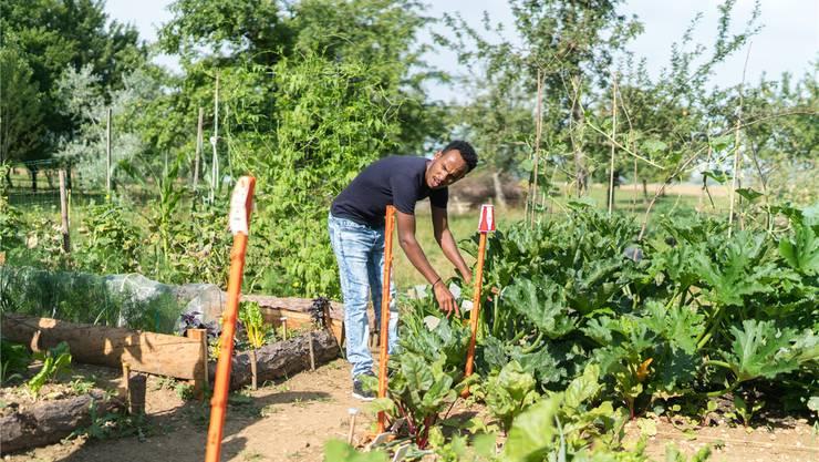 Im «SoKuGarten» in Frick pflegt Omar das angebaute Gemüse, lernt Deutsch und macht sich mit der Schweizer Kultur vertraut. Fotos: Mario Heller