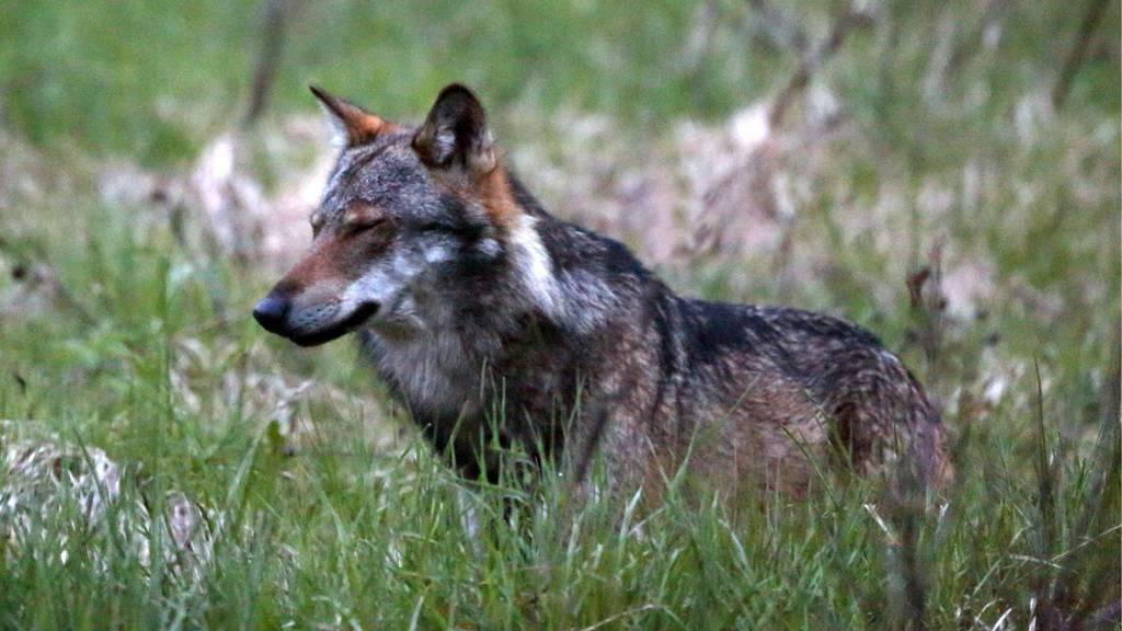Wolf reisst Schaf in Tägerschen