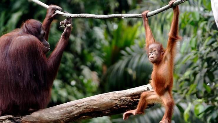 Konsumenten können Orang-Utans schützen. (Archivbild)