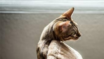 Läuft eine Katze zu, kann ein Mikrochip den Besitzer eruieren.
