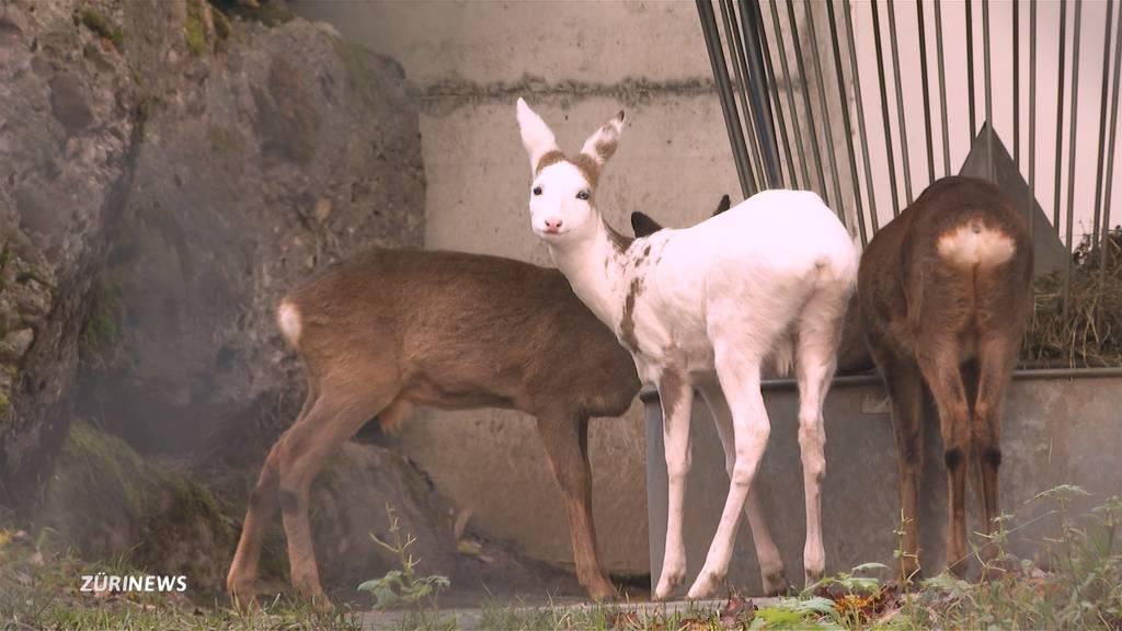 Seltenheit: Weisses Reh im Tierpark Goldau zu Gast