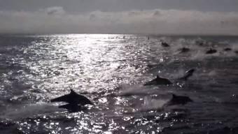 Die blutige Treibjagd der Killerwale vor der kalifornischen Küste.