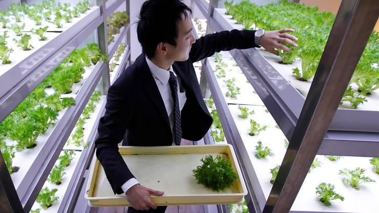 Braucht weder Ackerland noch Sonne: Frische Salate in einer «Vertical Farm» der Firma Pasona Group in der Grossstadt Tokio.Yuriko Nakao/Reuters