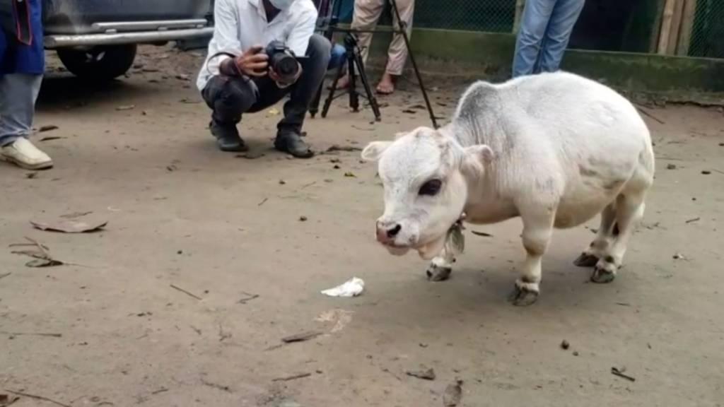 Rani – die wahrscheinlich kleinste Kuh der Welt