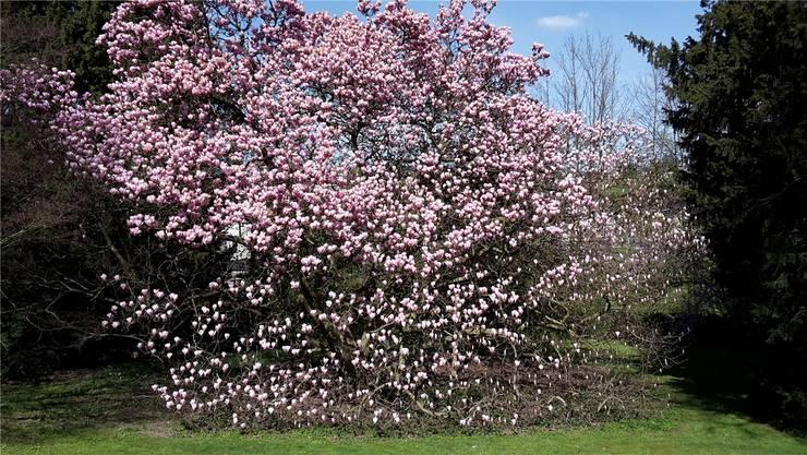 Im alten Park des Strohmuseums steht ein Magnolienbaum in voller Blüte; ein symbolisches Zeichen für den Frühling in der Wohler Institution. zvg