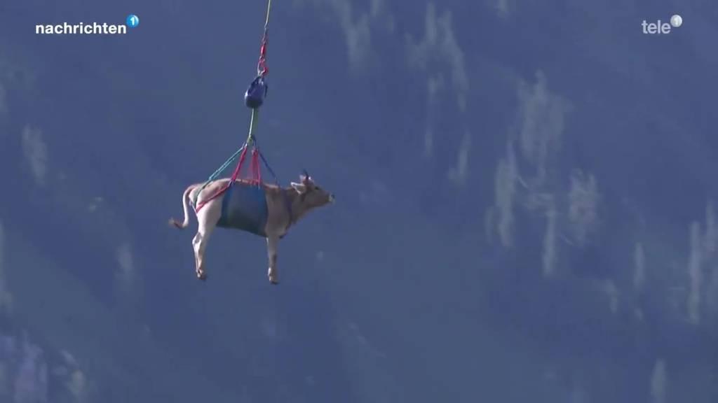 Rind «Specht» fliegt mit Helikopter von Nidwaldner Alp