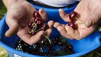 Die Kirschenernte fordert die Bauern in der ganzen Schweiz. Ein Verein soll die Arbeit nun erleichtern.