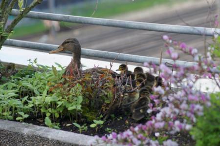 Bereits letztes Jahr hat die Ente erfolgreich ihre Jungen bei Heinrich Lüthi ausgebrütet