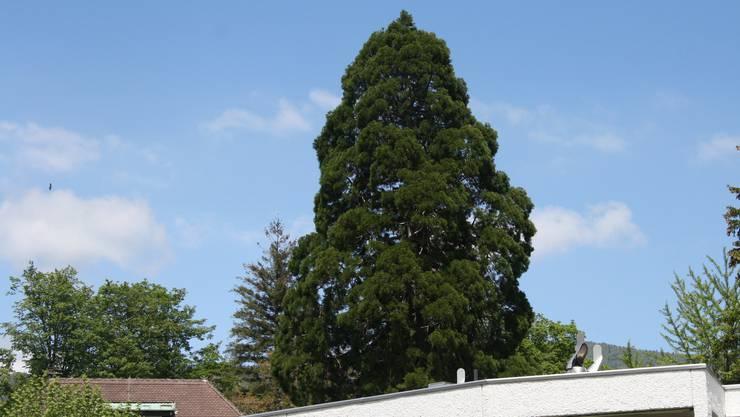 Dieser 120-jährige Mammutbaum neben dem Schloss Blumenstein soll einer Überbauung weichen.