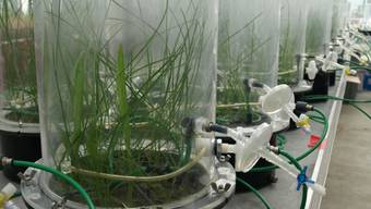 Forschende von Agroscope und von der Universität Zürich untersuchten mit unterschiedlichen Bodenproben in luftdichten Kammern, welchen Einfluss Pilze und Bakterien auf das Wachstum von Pflanzen haben.