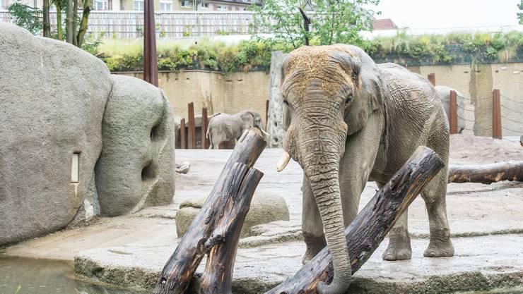 Afrikanische Elefanten: Mit 5000 Quadratmetern ist ihre neue Anlage «Tembea» über doppelt so gross wie die alte Anlage. Genug Platz zum «Suhlen, Baden und das Futter selber zusammensuchen».