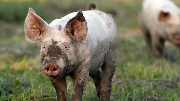 Ein junges Schwein – wird es geschlachtet, soll es nicht leiden. (Symbolbild)