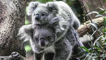 Um die süssen Beuteltiere steht es schlecht: Rund 350 Koalas starben aufgrund der Buschfeuer in Australien.