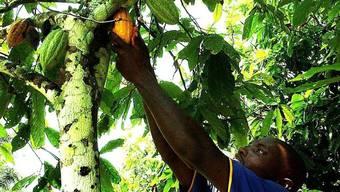 Kakao wurde schon viele tausend Jahre vor Christus verarbeitet. (Archiv)