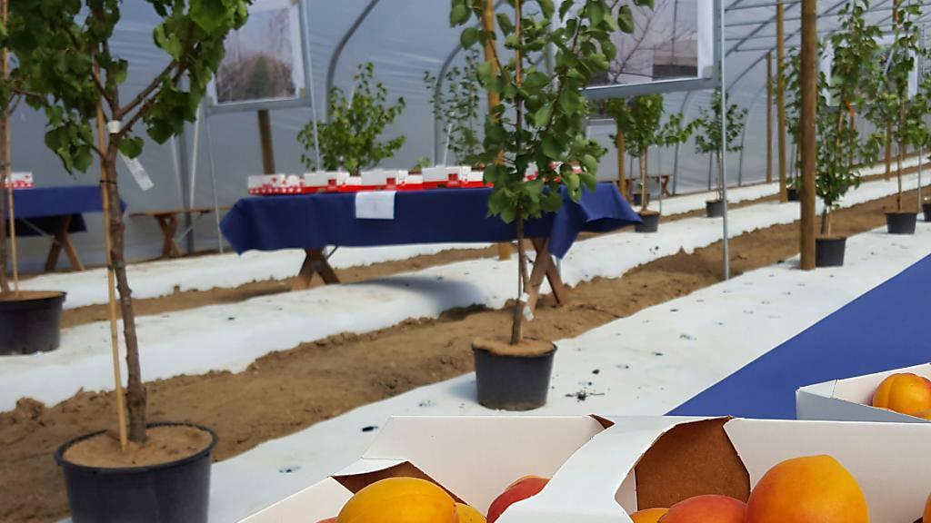 Bereit zum Einpflanzen: Im Aargau werden bald Aprikosen in Folientunneln für den Direktverkauf produziert. Schweizweit soll die grösste Aprikosen-Anbaufläche unter Folientunnels entstehen.