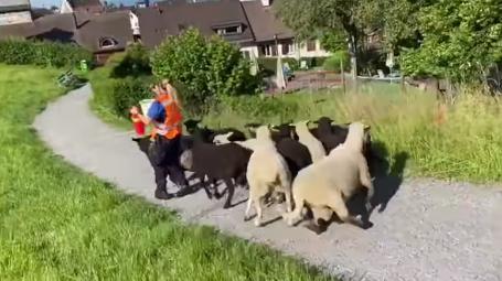 Polizistin sammelt ausgebüxte Schafe wieder ein