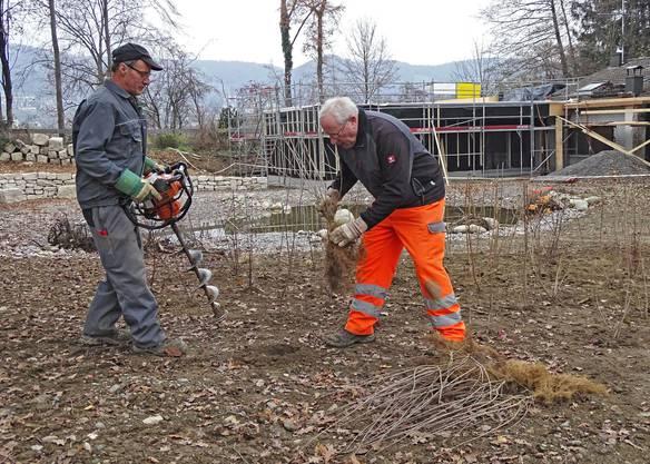 Mitarbeiter des Forstamts Villigen setzen Sträucher und Bäume. (Bild: Beni Herzog)