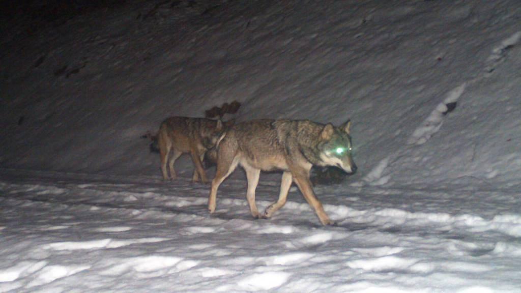 Auf der Jagd entdeckt: Erstes Wolfsrudel im Kanton Glarus