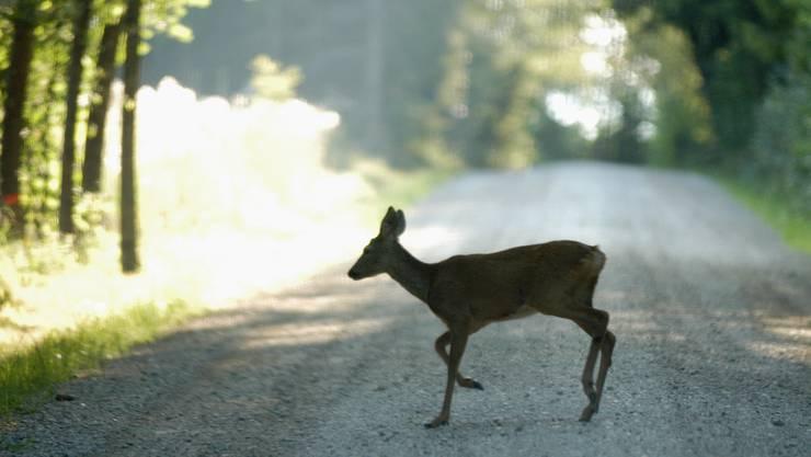 Ein Reh überquert gemütlich die Strasse zwischen Petersberg und Baldegg. Rehe Wild Wald Jagd Jäger Jagen Wildschäden. 11.08.2005.