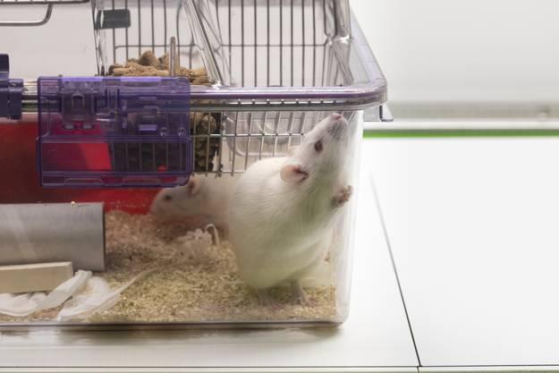 Tierversuche – ja oder nein: Mehrfach hat die Schweizer Stimmbevölkerung ein Verbot von Tierversuchen abgelehnt. Im März haben verschiedene kleinere Tierrechtsorganisationen erneut eine entsprechende Volksinitiative eingereicht. Sie wollen Tierversuche komplett abschaffen und auch den Import von Produkten verbieten, die im Ausland mittels Tierversuchen entwickelt wurden.