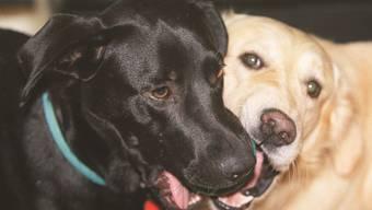 Sie mögen sich und die Leute mögen sie: Labrador und Golden Retriever.Alexander Wagner
