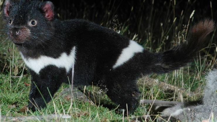 Ein gesunder Tasmanischer Teufel - Seine Artgenossen sind wegen einer weit verbreiteten Krankheit vom Aussterben bedroht. (Archiv)