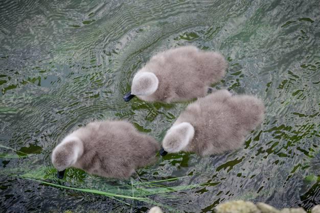 Drei Schwänchen paddeln hinterher