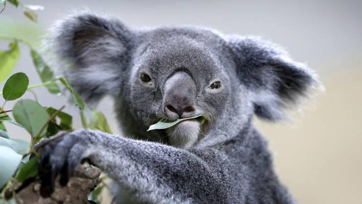 Was nicht niedlich ist, wird kaum erforscht. Zumindest in der australischen Tierwelt. Forscher plädieren für mehr Forschung an Australiens weniger ansehnlichen Säugetierarten. (Archiv)