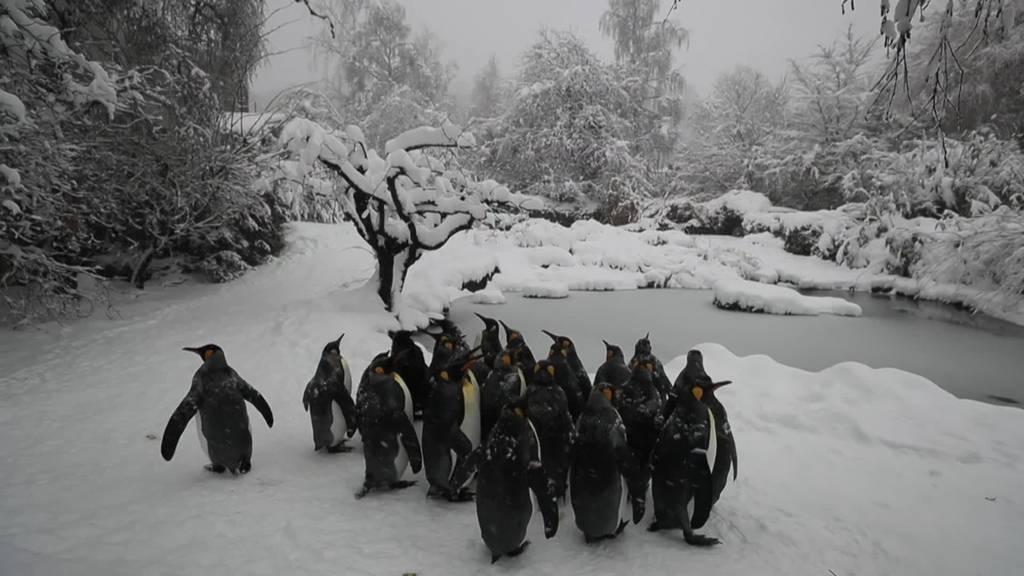 Schneespass im Zoo Zürich: Pinguine und Flamingos geniessen die weisse Pracht