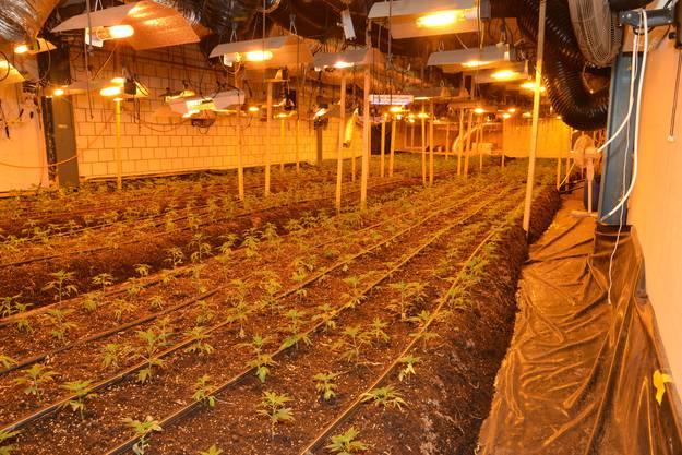 Die sichergestellten Hanfpflanzen waren in unterschiedlichen Wachstumsphasen.
