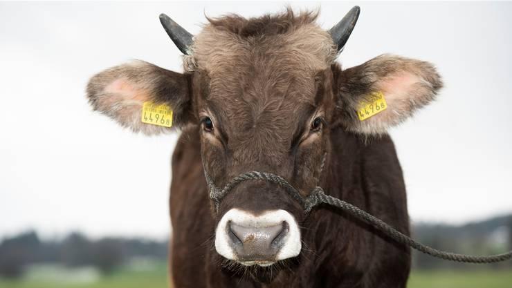 In seinen Adern fliesst Siegerblut. Der junge Stier aus der Zucht von Walter Rüttimann, Beinwil, hat eine edle Abstammung und einen guten Charakter.