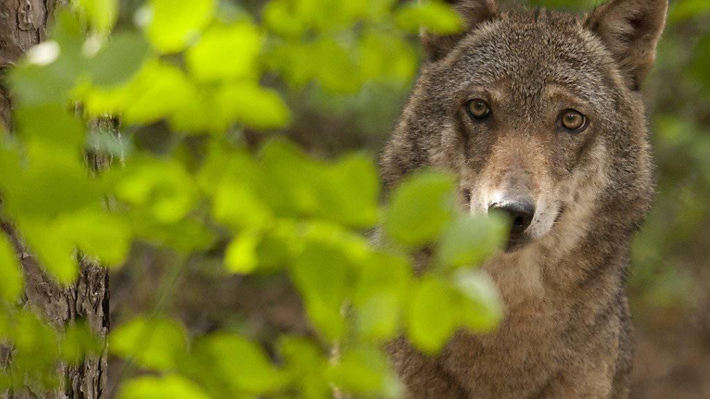 Gegen Wolf Und Bär In Niedersachsen