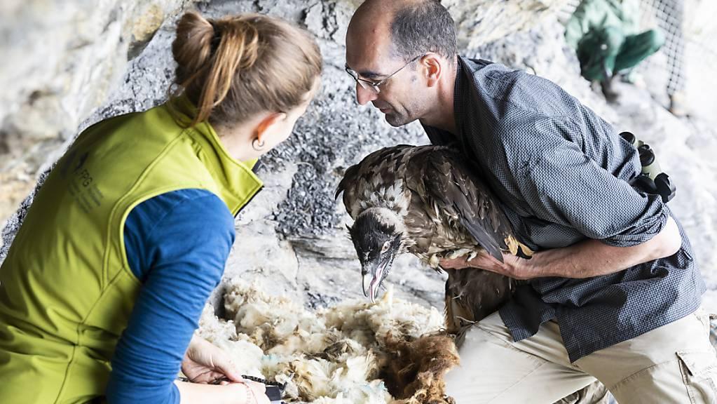 Im Juni 2018 liess die Stiftung Pro Bartgeier den Bartgeier Fredueli im eidgenössischen Wildtierschutzgebiet Huetstock im Melchtal OW auswildern. (Archivbild)