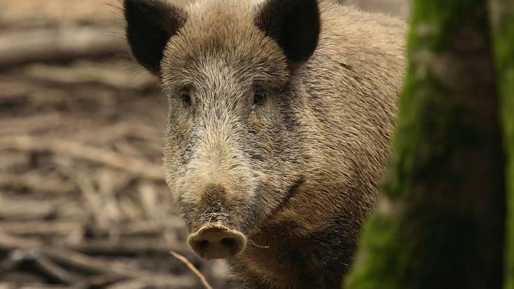 Die Wildschweinjagd ist anspruchsvoll, einzelne Jäger wünschen sich dafür Hightech-Hilfsmittel. fotalia
