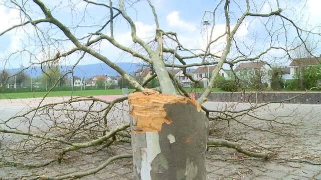 Schönenwerd: Wer hat diesen Baum gefällt?
