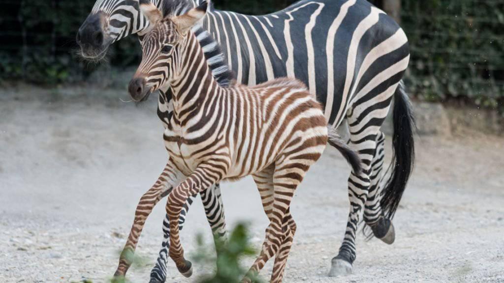 Das Zebrafohlen Quagga trabt durch die Basler Afrikaanlage.
