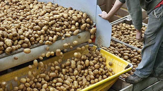 Reiche Kartoffelernte in der Schweiz (Archiv)